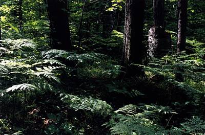 Art Print featuring the photograph Ferns In The Forest Wc by Lyle Crump