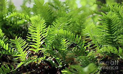 Photograph - Ferns Of The Forest Floor by E B Schmidt