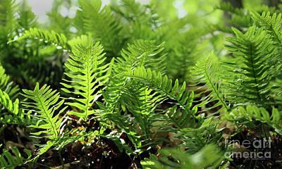 Photograph - Ferns Of The Forest Floor by E B Schmidt