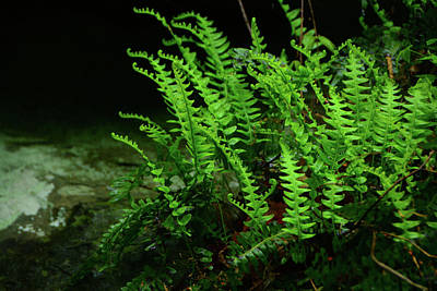 Photograph - Ferns On The West Virginia At by Raymond Salani III