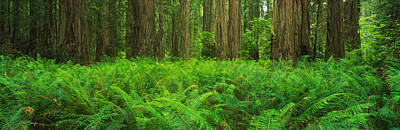 Ferns Redwood State Park Ca Art Print by Panoramic Images