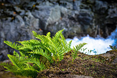 Photograph - Ferns by Ronda Broatch
