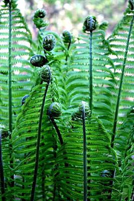 Fiddleheads Photograph - Ferns Unfurling by Deborah  Crew-Johnson