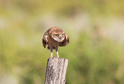 Photograph - Ferocious Burrowing Owl by Loree Johnson