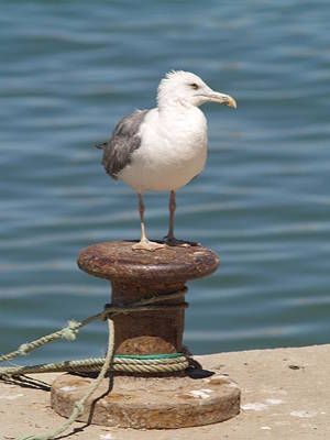 Photograph - Ferragudo Seagull At Rest by Michael Canning