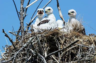 Photograph - Ferruginous Hawk 1 by Bob Christopher