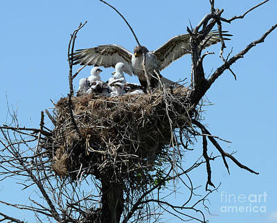 Ferruginous Hawk Photograph - Ferruginous Hawk 2 by Bob Christopher