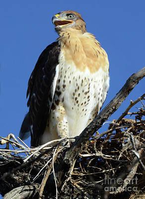 Photograph - Ferruginous Hawk 3 by Bob Christopher