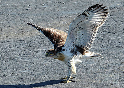 Photograph - Ferruginous Hawk 5 by Bob Christopher