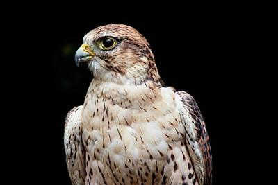 Photograph - Ferruginous Hawk Bird Of Prey by Peggy Collins