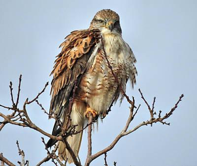 Hawk Photograph - Ferruginous Hawk On Dead Hawk Tree by Casey Butler