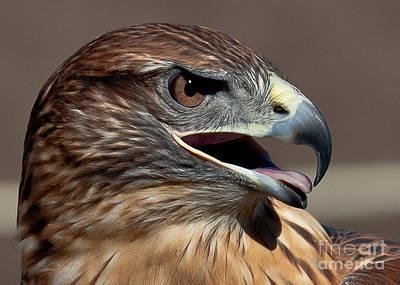 Ferruginous Hawk Photograph - Ferruginous Hawk by Kim Michaels