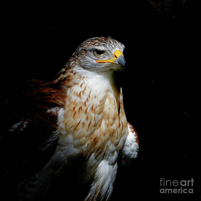 Photograph - Ferruginous Hawk - Out Of The Dark by Sue Harper