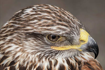 Photograph - Ferruginous Hawk by Pete Federico