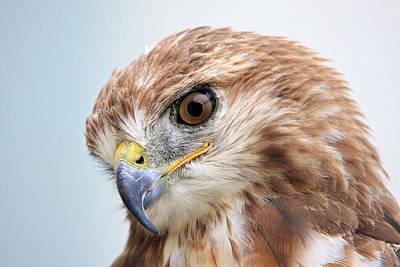 Photograph - Ferruginous Hawk by Pierre Leclerc Photography