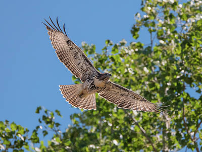 Photograph - Young Hawk Soaring by Loree Johnson