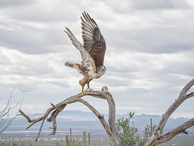 Photograph - Ferruginous Hawk by Tam Ryan