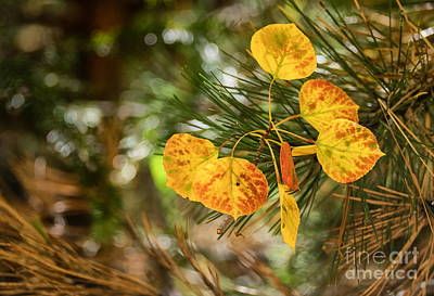 Photograph - Festive Aspen Leaves  by Marianne Jensen
