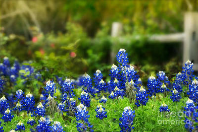 Photograph - Festive Bluebonnets by TK Goforth