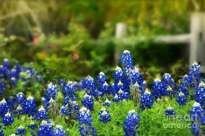 Photograph - Festive Bluebonnets by TK Goforth