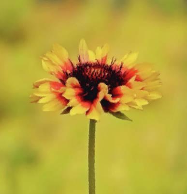 Photograph - Festive Flower - Gaillardia Daisy - Brush Strokes by MTBobbins Photography