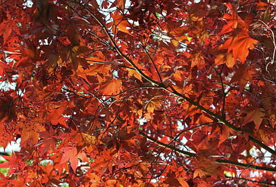 Photograph - Festive Japanese Maple by Michele Myers