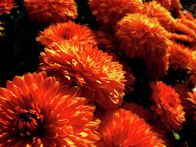 Photograph - Festive Orange Mums by Scott Hovind
