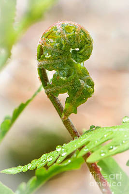 Photograph - Fetal Fern by Amy Porter