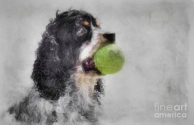 Photograph - Fetching Cocker Spaniel  by Benanne Stiens