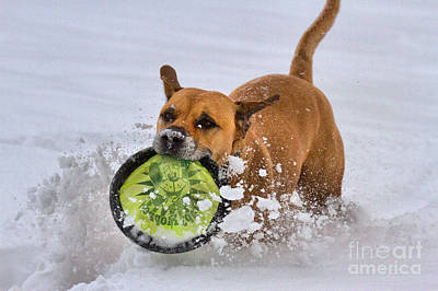 Photograph - Fetching Frisbee In The Snow by Adam Jewell