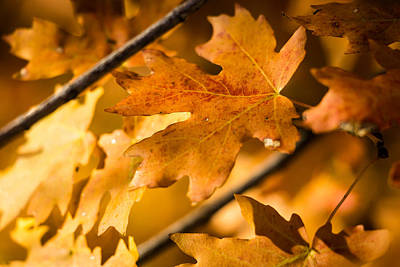 Photograph - Feuilles D'or - Leaves Of Gold by Dallas Golden