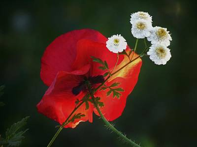 Photograph - Fever Few Poppy by Barbara St Jean