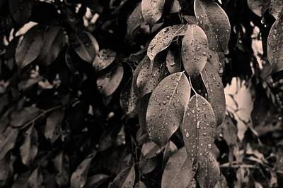 Photograph - Ficus Leaves by Tim Good