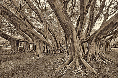 Photograph - Ficus Microcarpa 2 by HH Photography of Florida