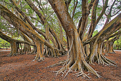 Photograph - Ficus Microcarpa by HH Photography of Florida