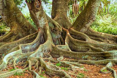 Photograph - Ficus Roots by Rosalie Scanlon