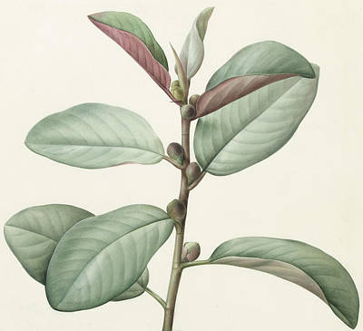 Leaf Drawing - Ficus Rubeginosa by Pierre Joseph Redoute