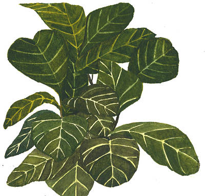 Painting - Fiddle Leaf Fig by Garima Srivastava