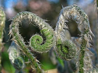 Fiddleheads Photograph - Fiddlehead Ferns by Juergen Roth