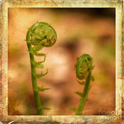 Photograph - Fiddlehead Ferns by Kerri Farley