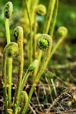 Photograph - Fiddlehead Ferns by Thomas R Fletcher
