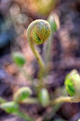 Photograph - Fiddlehead by Rick Berk
