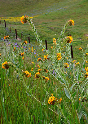 Fiddleneck Photograph - Fiddleneck And The Fence by Kathy Yates