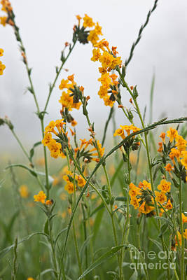 Fiddleneck Photograph - Fiddleneck Flowers by Inga Spence