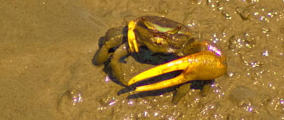 Photograph - Fiddler Crab Pano by Bill Barber