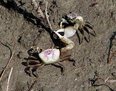 Fiddler Crabs Fighting 2 Art Print