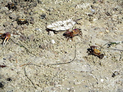 Photograph - Fiddler Crabs by Terri Mills