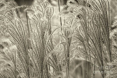 Photograph - Field Feathers Sepia by Karen Adams
