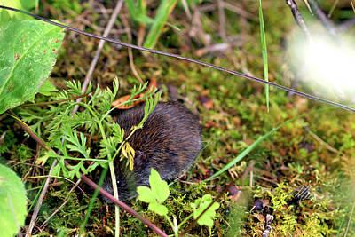 Photograph - Field Mouse by Meta Gatschenberger
