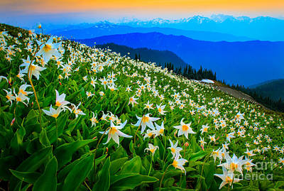 Olympic Photograph - Field Of Avalanche Lilies by Inge Johnsson
